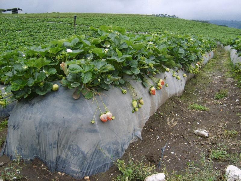 Стоит ли выращивать настоящую клубнику
