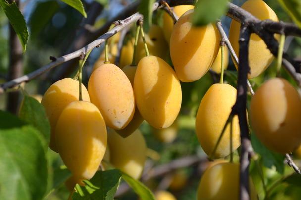 Нет урожая от желтой сливы фото - 37022