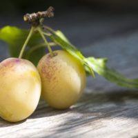 Нет урожая от желтой сливы фото - 37023 200x200