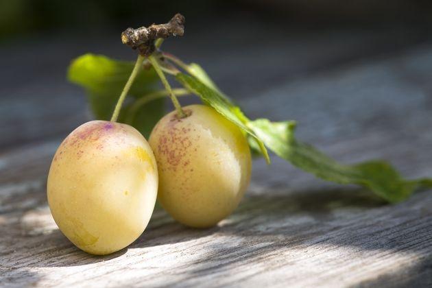 Нет урожая от желтой сливы