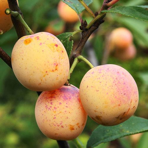 Нет урожая от желтой сливы фото - 37024
