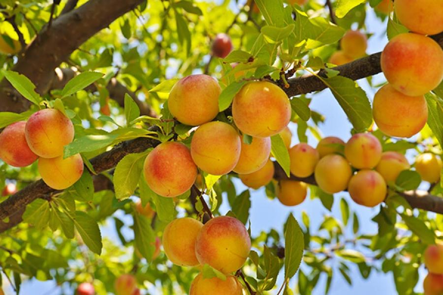 Нет урожая от желтой сливы фото - 37026