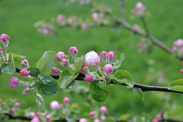Как защитить цветковые почки