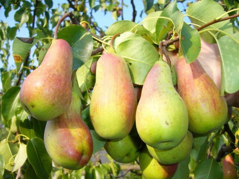 Устойчивые к парше груши