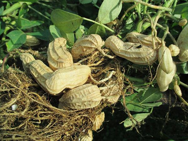 Выращивайте арахис