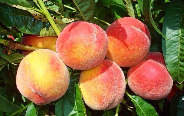 Почему гниют персики