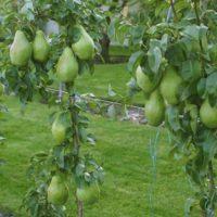 31199 Как сделать грушу карликовой (прививки на боярышник и черноплодную рябину)