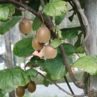 31212 Открываем секрет: как вырастить киви на своем огороде