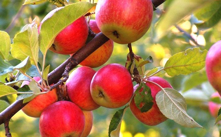 Урожай яблок: о каких проблемах он может рассказать фото - 38611