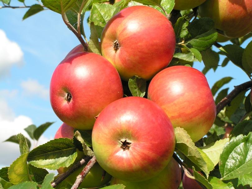 Урожай яблок: о каких проблемах он может рассказать фото - 38612