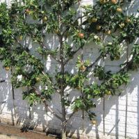 31235 Урожай яблок: о каких проблемах он может рассказать