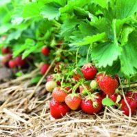 31241 Как утроить урожай земляники