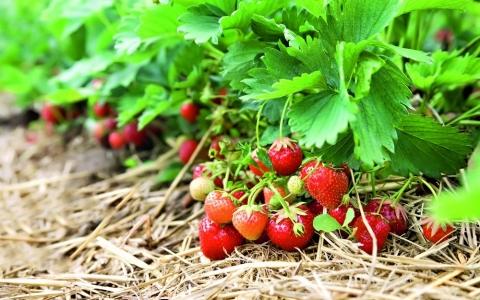 Как утроить урожай земляники