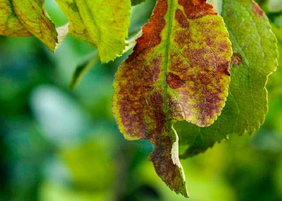 Листья на вишне и абрикосе стали засыхать. Что делать?