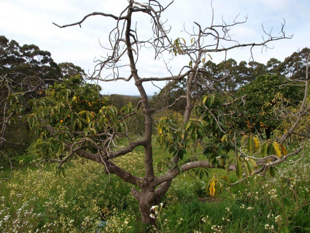 Почему деревья в саду погибают фото - 39312