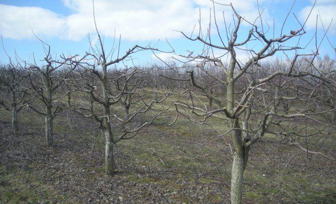 Почему деревья в саду погибают фото - 39314
