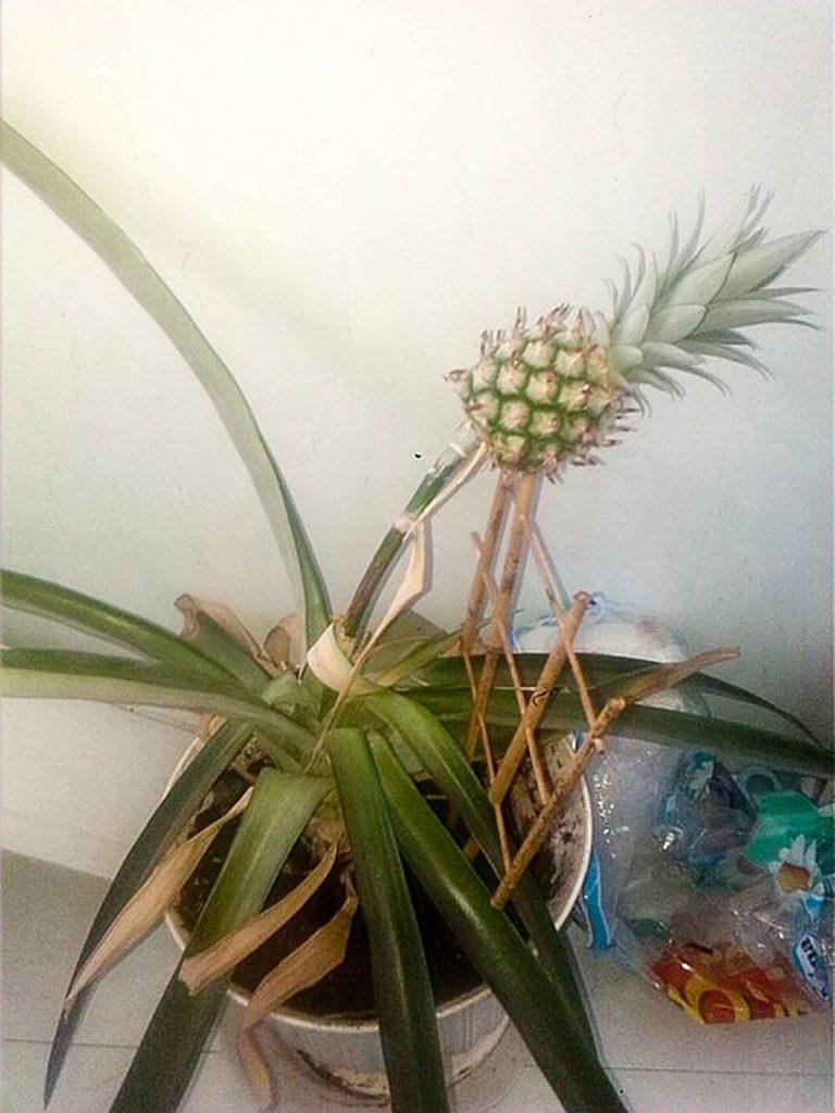 А осенью мы начнем выращивать... ананасы на подоконнике фото - 40853
