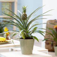 А осенью мы начнем выращивать... ананасы на подоконнике фото - 40854 200x200