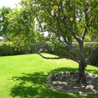 31459 Когда лучше пересадить дерево