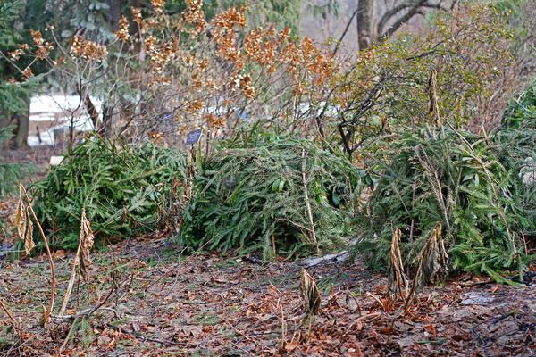 Где взять лапник для укрытия растений и накажут ли вас за это по закону