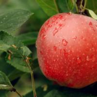 31656 Почему расплакались яблони