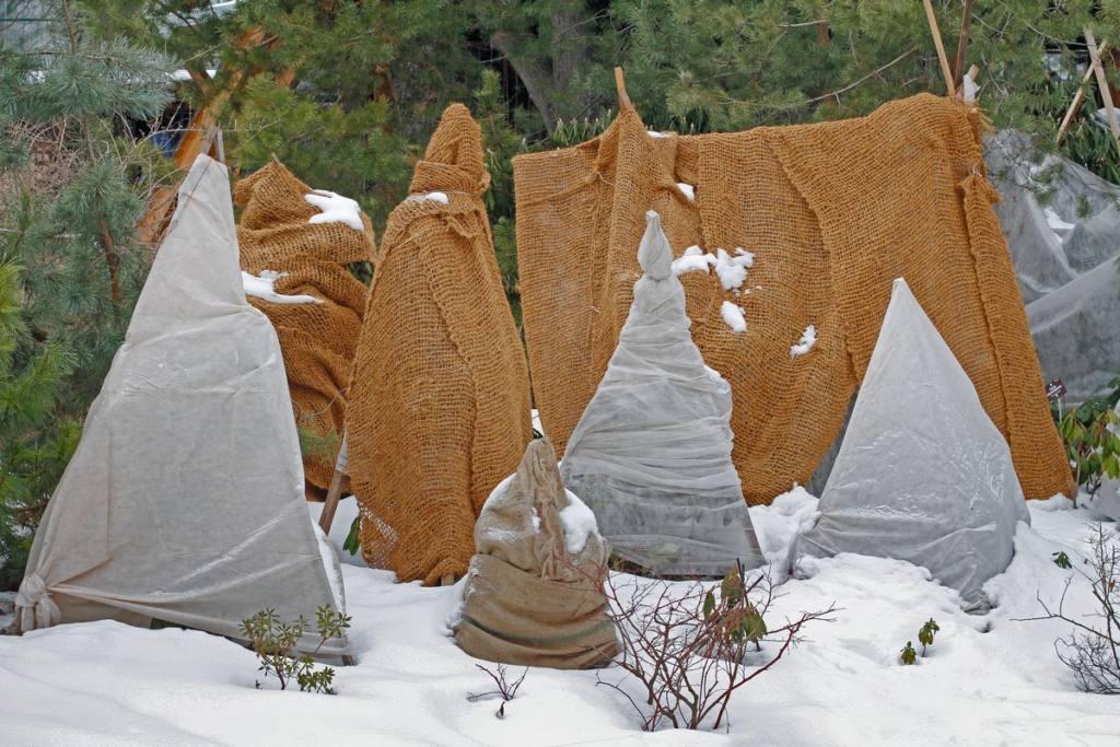 Защитите хвойные зимой