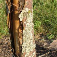 31677 Морозобоины: защитите деревья в саду