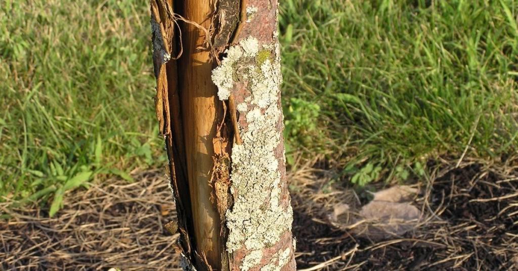 Морозобоины: защитите деревья в саду