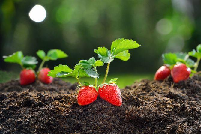 31709 Земляника из семян, правила выращивания