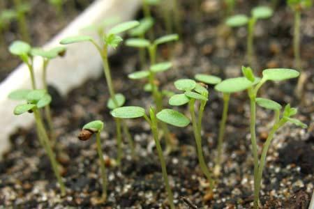Земляника из семян, правила выращивания