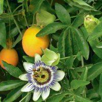 31713 Пассифлора. И цветок, и еда