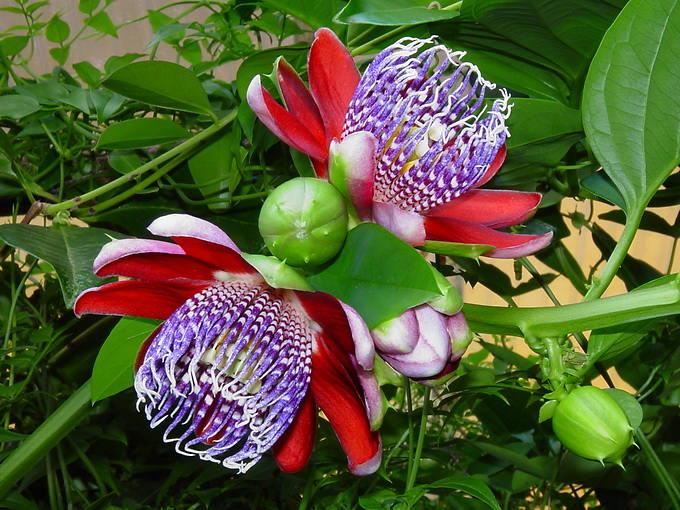 Пассифлора. И цветок, и еда