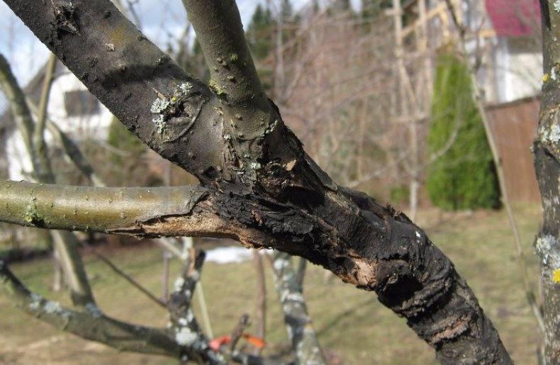 Рак плодовых деревьев: профилактика и лечение