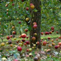 31759 Какие яблоки самые сладкие в средней полосе