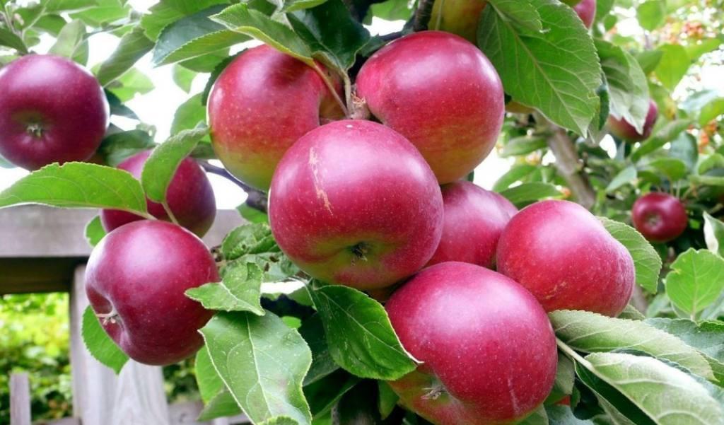Какие яблоки самые сладкие в средней полосе