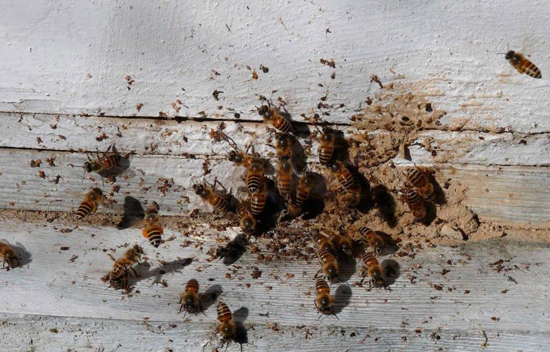 Болезни и паразиты пчел