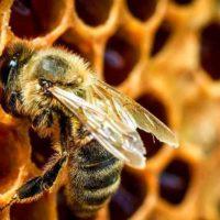 31798 Проблемы с пчелами и их устранение
