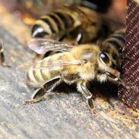 31802 Болезни пчел: результат дисбаланса?