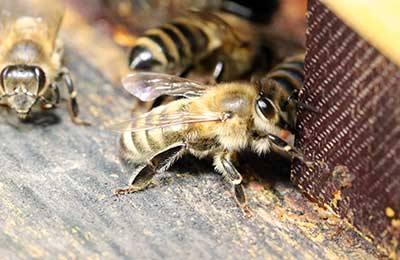 Болезни пчел: результат дисбаланса?