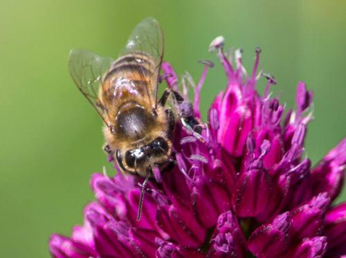 Аллергия на укус пчелы