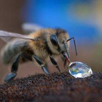 31809 Аллергия на укус пчелы