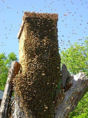 Как прекратить роение пчел: противороевые методы в пчеловодстве