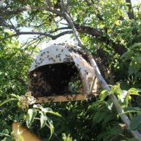 31885 Как прекратить роение пчел: противороевые методы в пчеловодстве