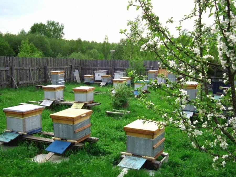 Размножение пчел: естественные и искусственные формы