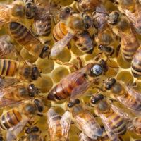 32064 Все о развитии и жизни пчеломатки