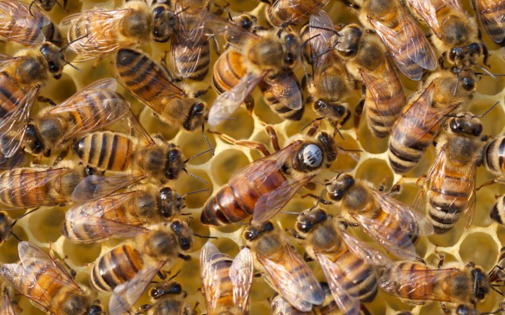 Все о развитии и жизни пчеломатки