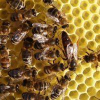 32100 Как вывести пчелиные матки?