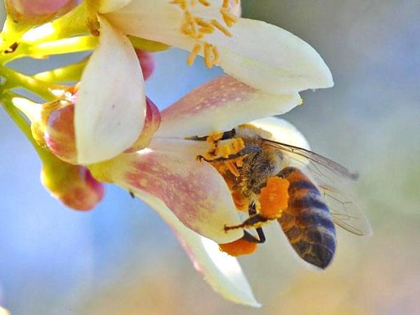 32228 Свойства пчелиной пыльцы и ее применение