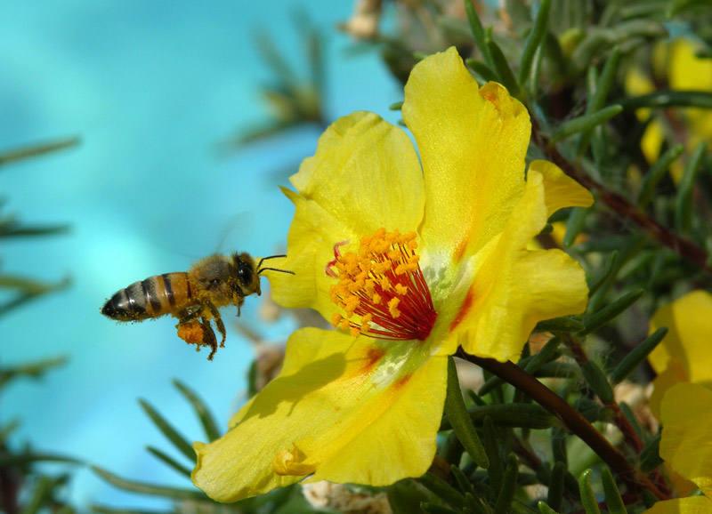 Свойства пчелиной пыльцы и ее применение
