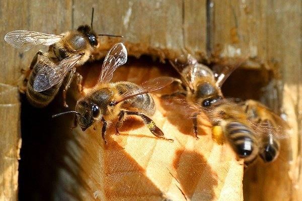 32241 Враги пчел, кого стоит опасаться?